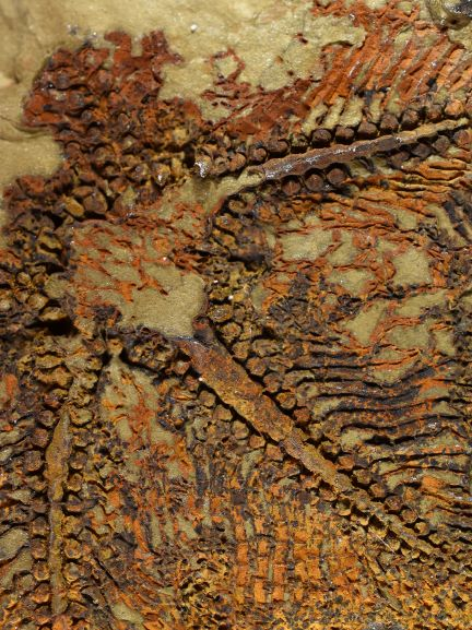 Image of the lacey detail in the new fossil's arms