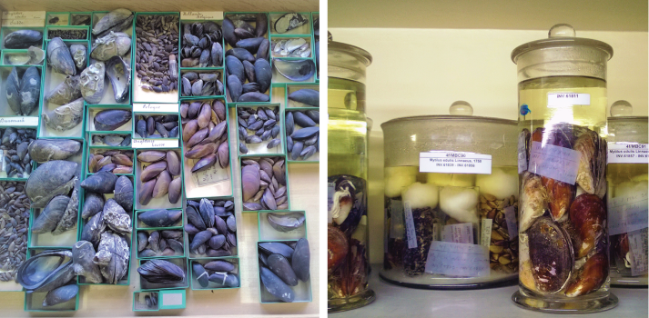 Museum samples of mussels from Belgium, stored in trays and jars.