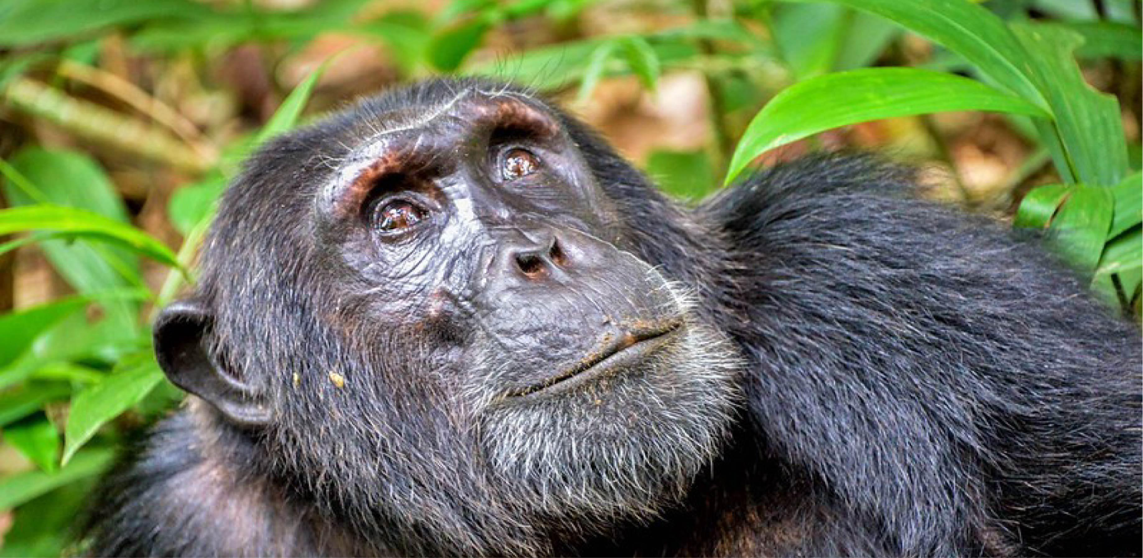Image of a chimpanzee sat down and looking at the sky